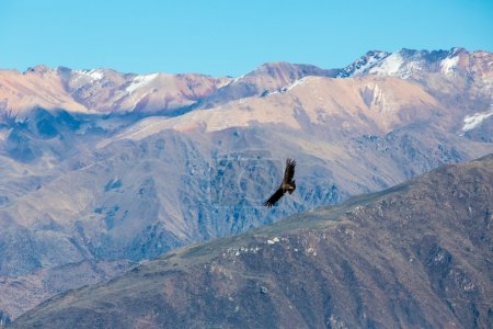Photo for Flying condor over Colca canyon,Peru,South America This is a condor the biggest flying bird on earth - Royalty Free Image