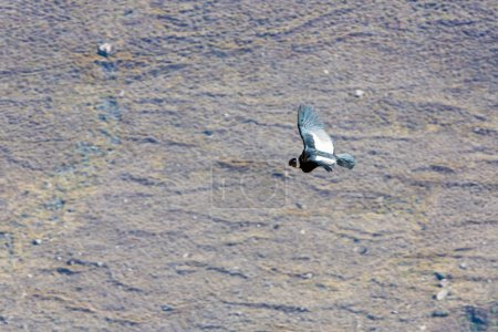 Photo for Flying condor over Colca canyon, Peru, South America - Royalty Free Image