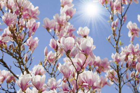 Photo pour Ciel bleu à la fleur de magnolia - image libre de droit