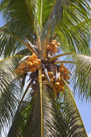 Photo pour Noix de coco sur un palmier - image libre de droit