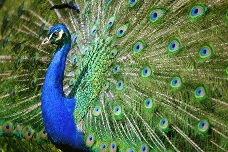 Photo for Beautiful peacock spreads his feathers - Royalty Free Image