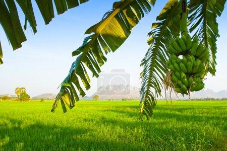 Foto de Paisaje de Tailandia central, un árbol de plátano, piedras en el fondo - Imagen libre de derechos