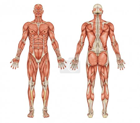 Photo for Anatomy of male muscular system - posterior and anterior view - full body - Royalty Free Image