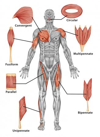 Anatomy of male muscular system - posterior view of type muscle - full body