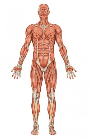 Anatomy of man muscular system - anterior view...