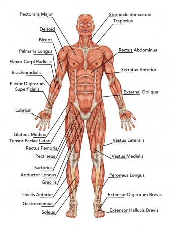 Anatomy of man muscular system - anterior view –...
