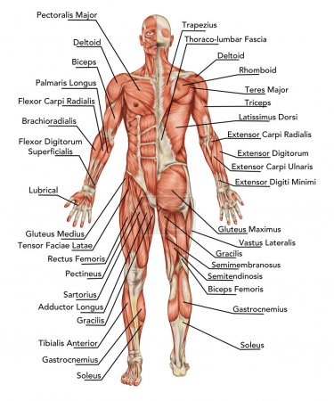 Anatomy of male muscular system - posterior and anterior view - full body – didactic
