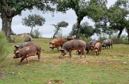 herd of Iberian pigs and oaks