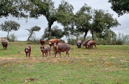 herd of Iberian pigs eating acorns