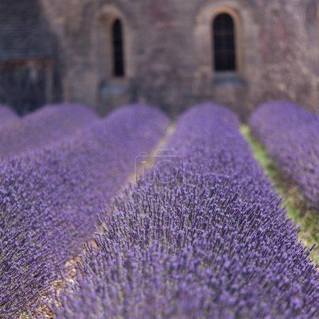 Holy lavender