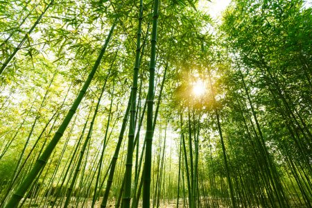 Photo for Bamboo forest, - Royalty Free Image