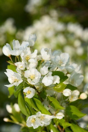 Photo for Apple blossoms - Royalty Free Image