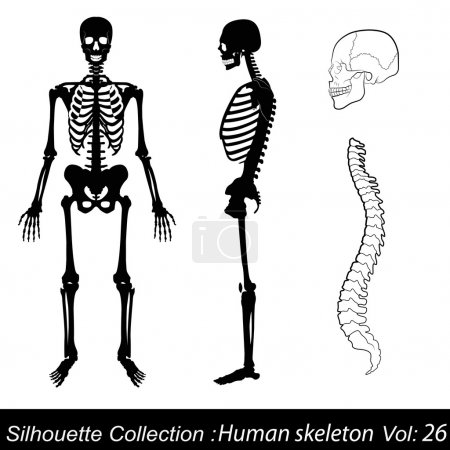 Vector Illustration: Human skeleton
