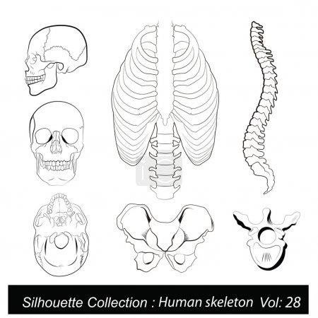 Vector Illustration: Human skeleton