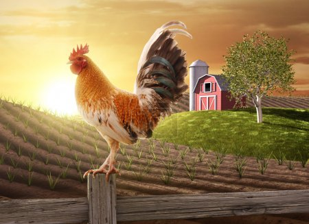 Photo for Rooster perched upon a farm fence post as the sun rises behind him - Royalty Free Image
