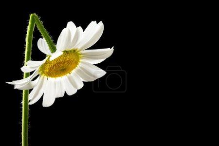 Photo pour Belle marguerite fraîche d'été blanche avec une tige courbée contrastée sur un fond sombre avec copyspace . - image libre de droit