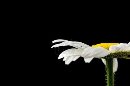 Photo pour Fleur de marguerite sur fond noir avec espace vide prêt pour votre texte . - image libre de droit