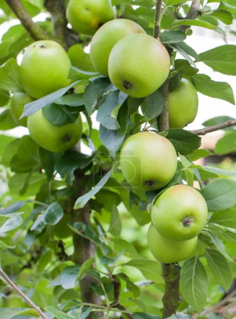 Fresh ripe green apples on tree