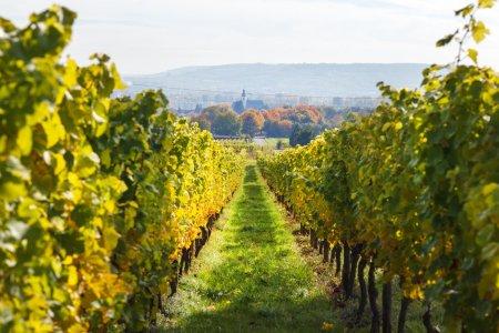 Vineyards in autumn in Rheingau, Germany...