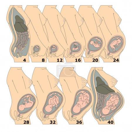 Photo pour La croissance d'un foetus humain dans les semaines - image libre de droit