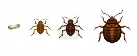 Bed bug life cycle - Cimex lectularius