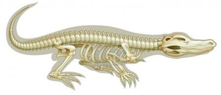 Crocodile skeletal system