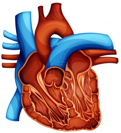 Illustration for Cross section of the human heart - Royalty Free Image