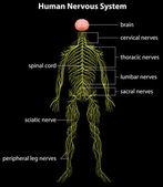 Lidský nervový systém