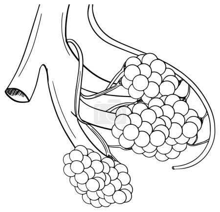 Illustration of human alveoli structure...