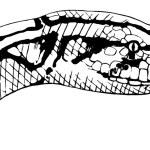 Illustration of Python molurus - Indian python...
