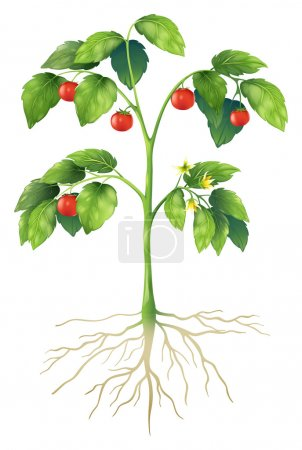 Illustration for Illustration showing the parts of a tomato plant - Royalty Free Image