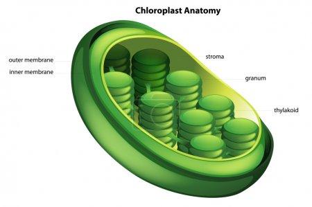 Illustration showing the chloroplast anatomy...