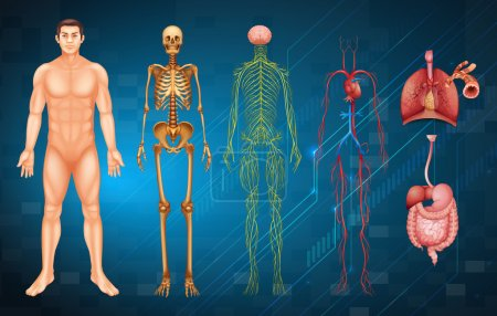 Illustration for Illustration of various human body systems and organs - Royalty Free Image