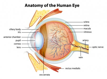 Photo for Illustration of the human eye anatomy - Royalty Free Image