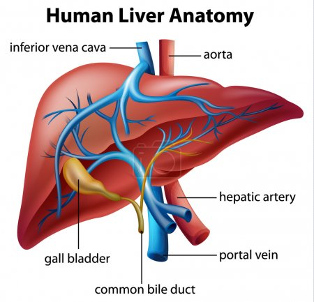 Illustration for Illustration of the human liver anatomy - Royalty Free Image