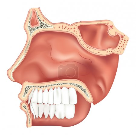 Illustration of the nasal cavity...