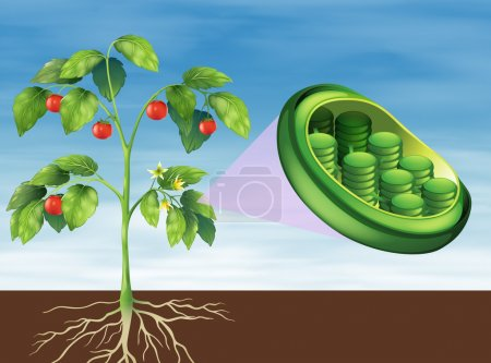 Illustration of a Chloroplast in plant...