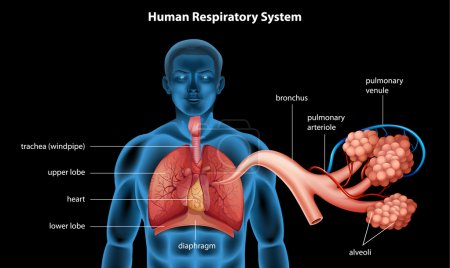 Illustration showing the respiratory system...