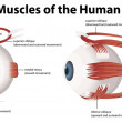 Illustration of the muscles of the human eye...