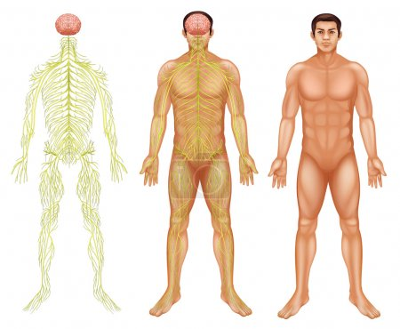 Nervous system of a man