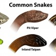 Illustration of the common snakes on a white backg...