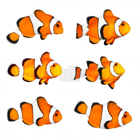 The Clownfish (Amphiprion ocellaris).