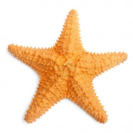 The caribbean starfish.