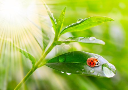 Tea tree (Thea sinensis). Little ladybug on the leaves of a green tea.