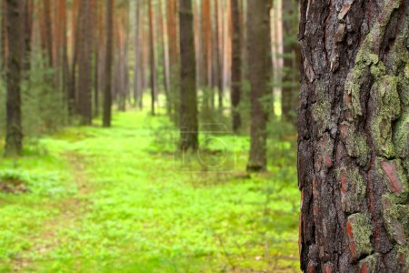 Pine forest. Close up pine bark with shallow dof. Czech Republic - Europe.