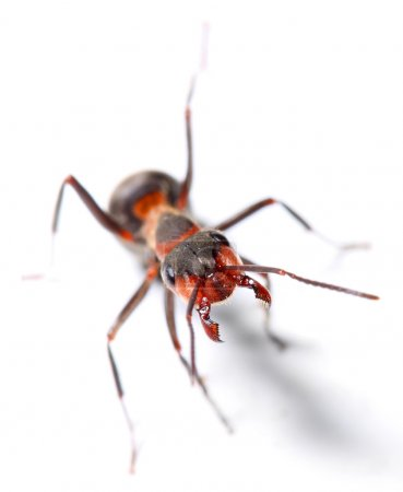 The Red Wood Ant (Formica Rufa). Close up