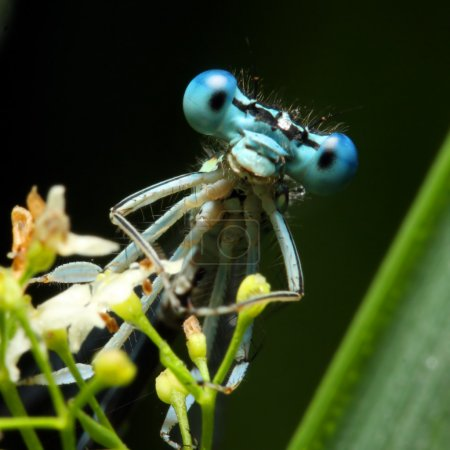Blue dragonfly on a grass - funny portrait