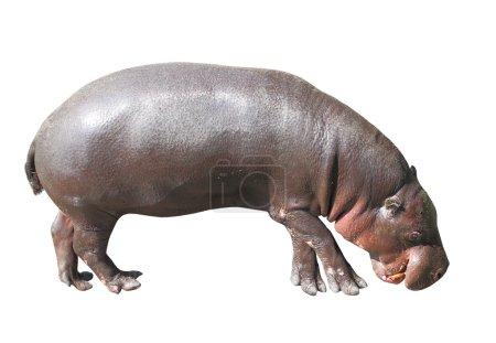 Photo pour The Pygmy Hippopotamus (Choeropsis liberiensis or Hexaprotodon liberiensis) - image libre de droit