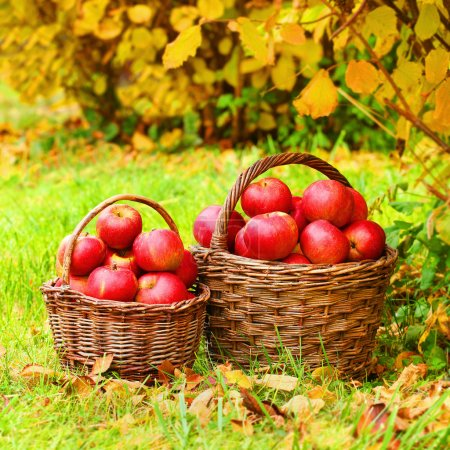 Fresh ripe apples in the basket