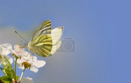 White butterfly on wild cherry blossom.